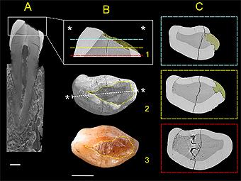 Строение обнаруженного зуба. Иллюстрация из статьи исследователей
