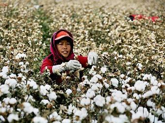 Китайцы в 8 раз превзошли мировой рекорд по сбору хлопка
