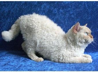 Ученые заинтересовались геномом кудрявых кошек