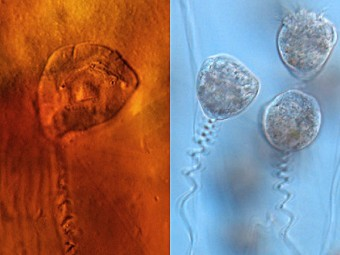 Древняя инфузория в коконе(слева) и современные сувойки. Фото из статьи Bomfleur et al., PNAS, 2012