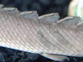 Естественная броня сенегальского полиптеруса. Фото Donna Coveney.